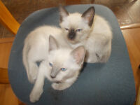 5 SIAMESE KITTENS FOR SALE