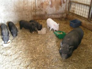 Pot Belly Pig Family