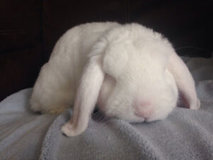 Mini lop Buck and Jersey Wooly Buck to rehome