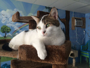 "Female short haired white brown cat ""ZOEY"" front declawed"