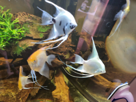 Assorted Angels and discus