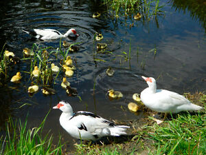 Muscovy Duck Breeding Trio's