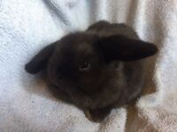 Pure bred mini lop baby