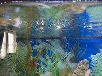 Tropical fish baby guppies