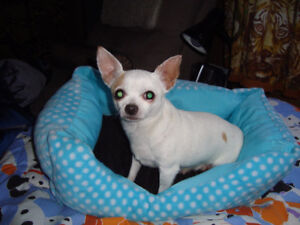 female toy chihuahua , 5 yrs old