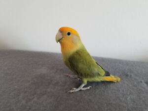 5 Months Baby Love Bird for sale