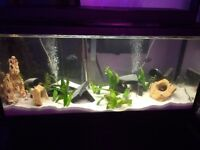 Guppies and large pleco for sale