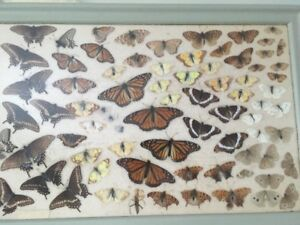 Attention Lepidopterologists 1960's Buttefly Collection