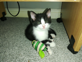 (sold) Playful Male Kitten for sale
