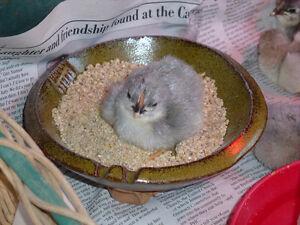 Lavender Orpington chicks