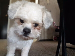 Small Bichon Shih Tzu Dog's looking for a new home !