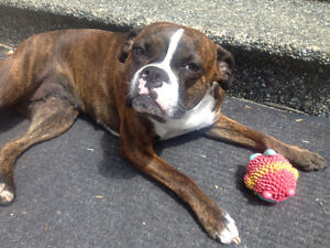 Wanted Boxer - Boston terrier X