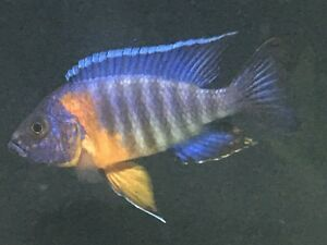 African Cichlid - Red Shoulder Group.  Sell or Trade