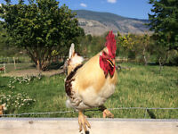 Brown Leghorn Rooster Chickens for sale
