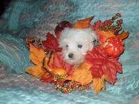 Maltese puppies WEEKEND SPECIAL $700