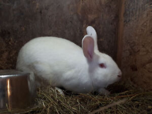 9 month old Pure bred New Zealand White's for sale