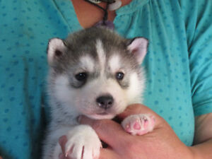 Siberian Husky Puppies Ready for Homes