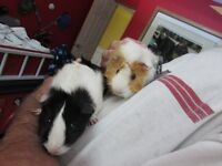Two Free Female Guinea Pigs