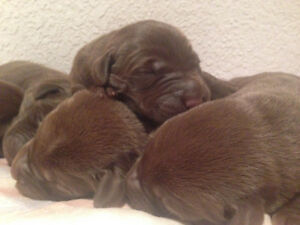 CKC registered Chocolate Labs Puppies for Sale