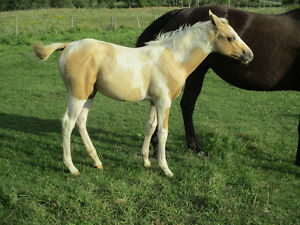 2016 Paint & APHA Registered Foals, New Pictures