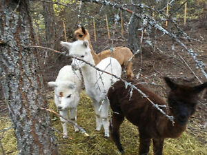 Alpacas 2 years old $250 each or $200 each if you take all