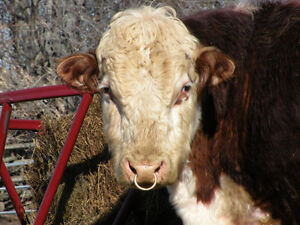 Polled Hereford Bull for sale