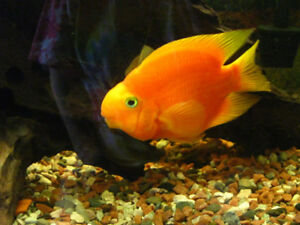 WANTED: Blood parrot cichlid