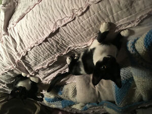Two beautiful Black and white (1Male,1 female) FREE!!!