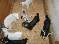 Alpine and Saanen buck kids for sale