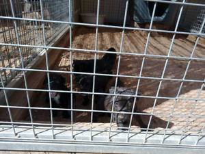 Male patterdale terrier pup/swap for dog box