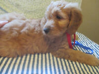 Female GOLDEN DOODLE PUPPY FOR SALE