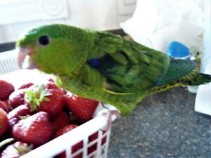 Green Lineolated Parakeet Baby