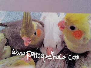 Cockatiels pour adoption