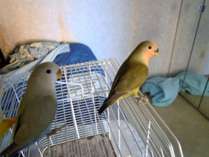 Two beautiful lovebirds for sale