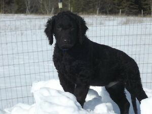 Curly Coated Retriever Pups for Sale - Rare Breed