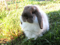 Sweet Holland Lop Bunny!