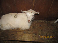 NIGERIAN DWARF AND CROSSES KIDS FOR SALE