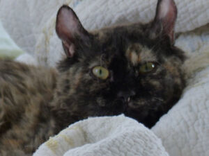 chatte mohave bob tortie(highland lynx frisé)