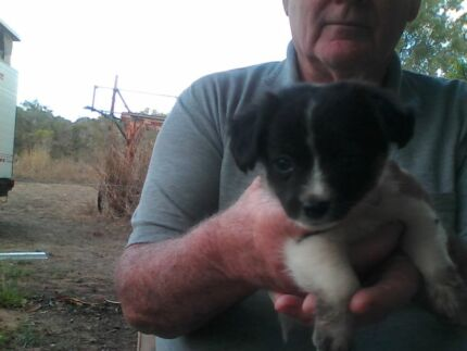 Puppies for sale mini foxy x long hair chihuahua  Dimbulah Tablelands Preview