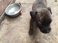 Staffy cross x puppies
