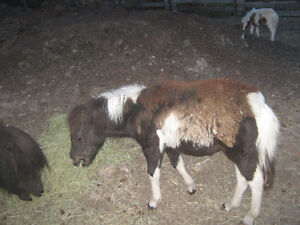 Miniature Filly for sale price reduced