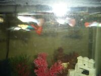 Young Male Guppies