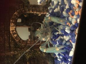 "4 "" baby blue crayfish"