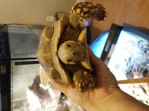Sulcata tortoise aka African spurred $700 obo