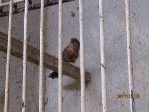 Strawberry Finches London Ontario image 3