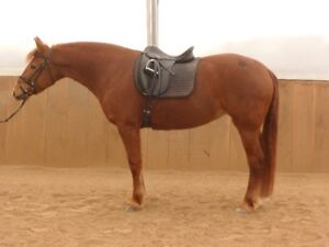 Gorgeous Canadian Mare available for part board in Flamborough