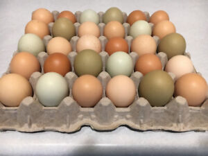 Fertile Hatching Eggs & Mixed Breed Juvenile Chickens