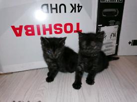 Healthy female black smoke tabby kittens