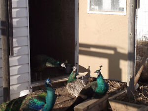 Peacocks ( Spaldings) for sale