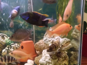 Dragon blood cichlids